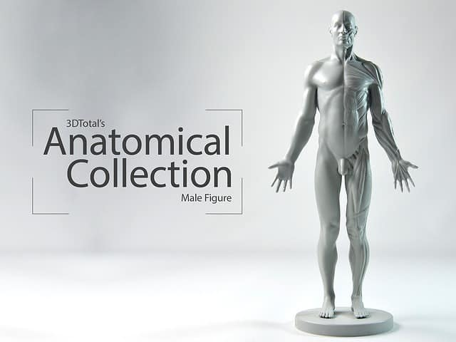 Anatomical Collection Male figure